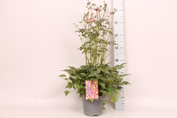 vaste planten 19 cm  Anemone Splendens