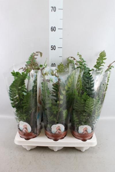 <h4>Didymochlaena truncatula</h4>