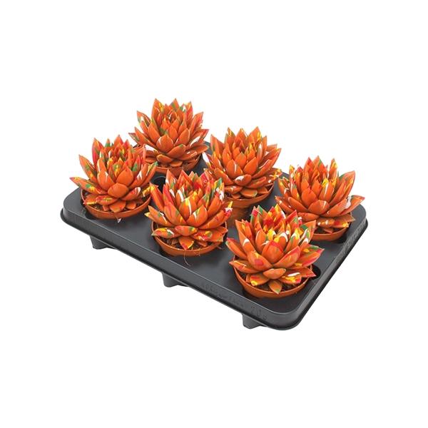 <h4>Echeveria coloured Splash orange</h4>
