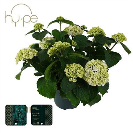 <h4>Hydrangea Curly Wurly White 10+</h4>