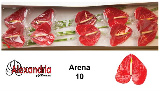 <h4>ANTH A ARENA</h4>