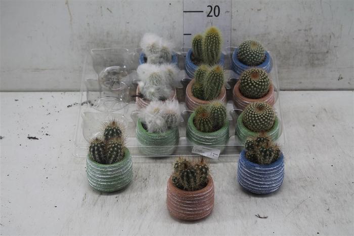<h4>Cactus Gemengd In Color Keramiek</h4>