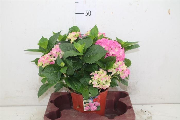 <h4>Hydrangea Macr Early Rosa 7+</h4>