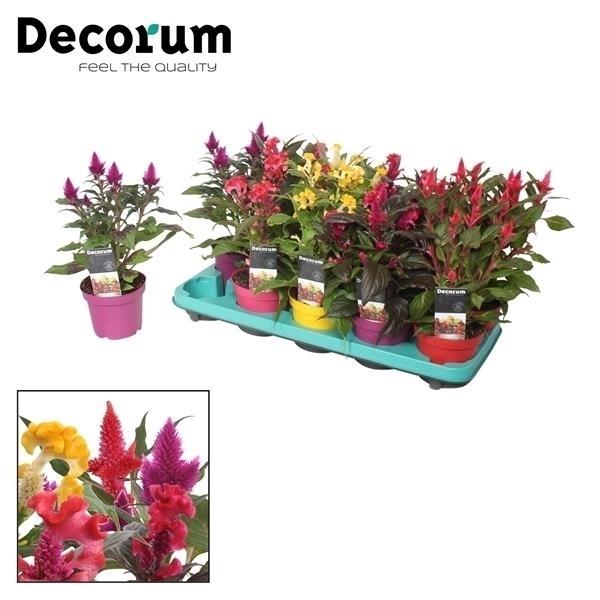 <h4>Celosia mix 5x2 met Decorum etiket</h4>