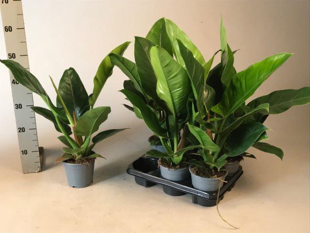 <h4>Philodendron Imperial Green 14Ø 55cm</h4>