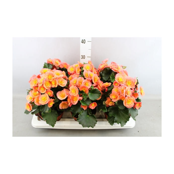 <h4>Begonia elat. 'Belove Peach'</h4>