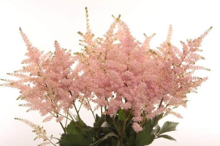 <h4>Astilbe Japonica Europa</h4>