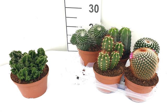 <h4>Cactus mix 14Ø 18cm</h4>