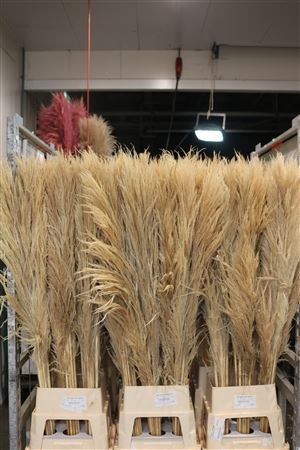 <h4>DRIED CORTADERIA NATUREL BLEACHED 1</h4>