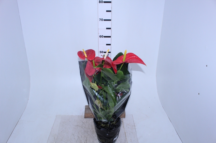 <h4>ANTHURIUM MICHIGAN P17 PREMIUM</h4>