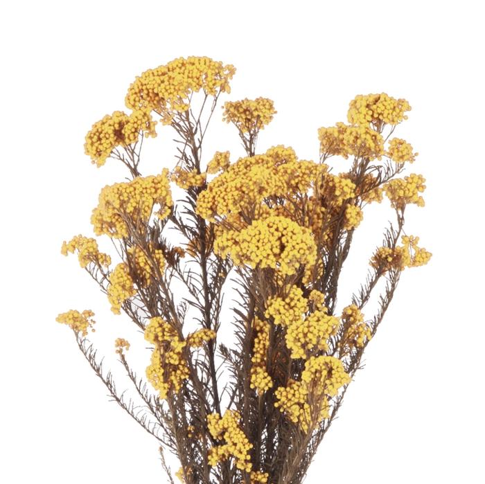 <h4>Helychrisium Diosmi Yellow Citr. HDI/0300</h4>