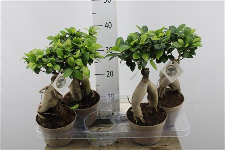 <h4>Ficus Ginseng Plastic Pot</h4>