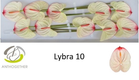 <h4>Anthurium andr. 'Lybra'</h4>