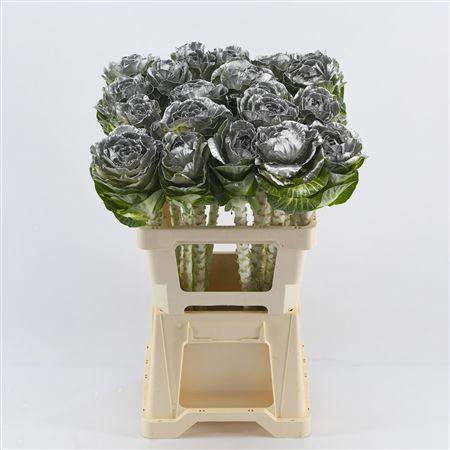 <h4>Brassica Silver</h4>