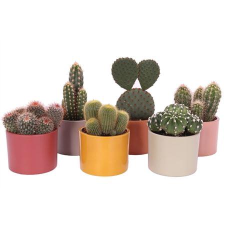 <h4>Cactus Tendance 10,5 Cm</h4>