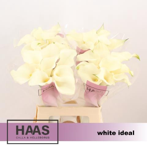 <h4>ZANT WHITE IDEAL</h4>