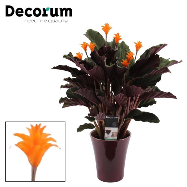 <h4>Calathea Crocata Candela 7/8 in paars keramiek DECORUM</h4>