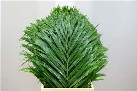 <h4>Kentia Palm 60</h4>