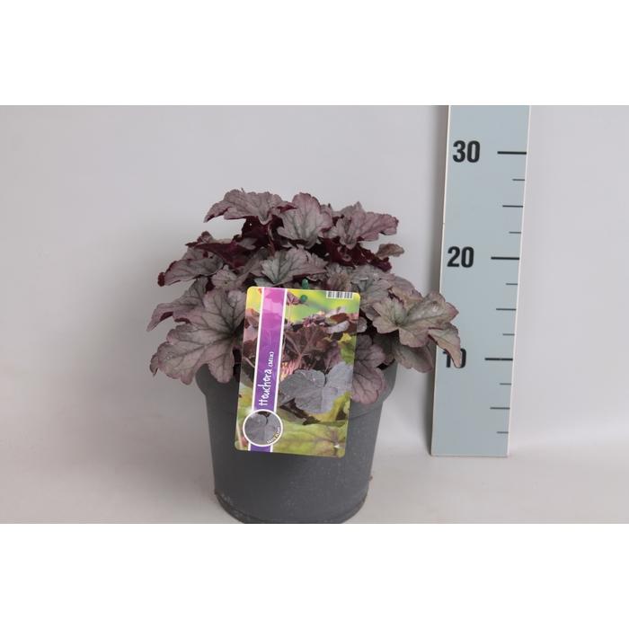 <h4>vaste planten 19 cm  Heuchera Sloeberry</h4>
