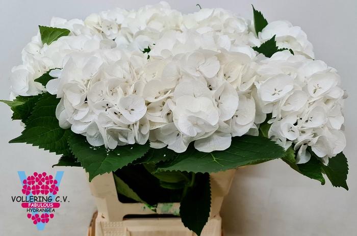 <h4>HYDR M ROYAL WEDDING</h4>