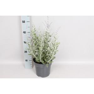 vaste planten 19 cm  Perovskia Blue Steel