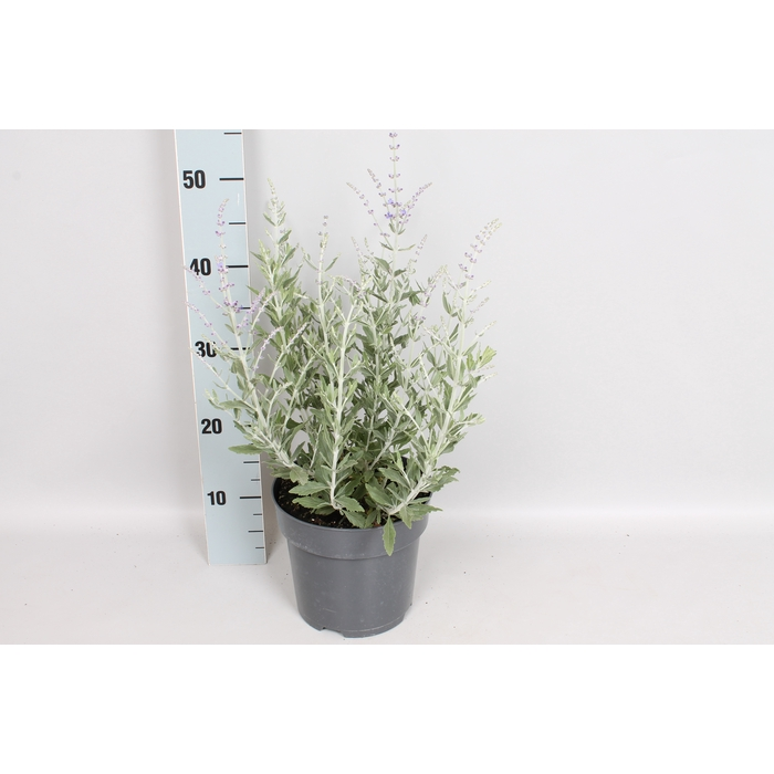 <h4>vaste planten 19 cm  Perovskia Blue Steel</h4>