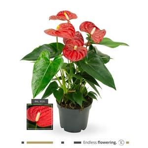 Anthurium Sierra Red
