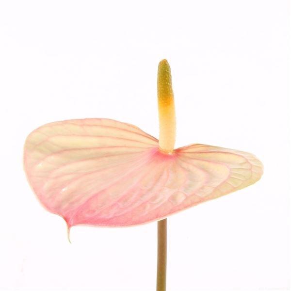 <h4>Anthurium andr. 'India Love'</h4>