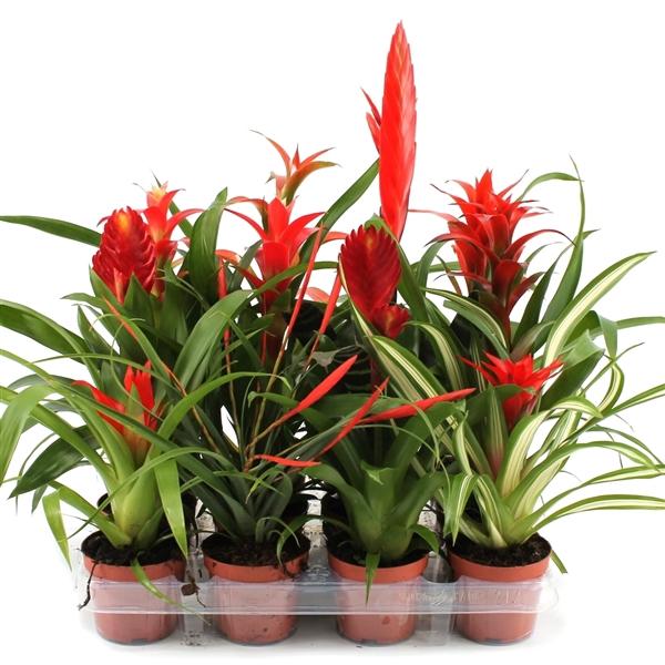 <h4>Bromelia sensation red-white</h4>