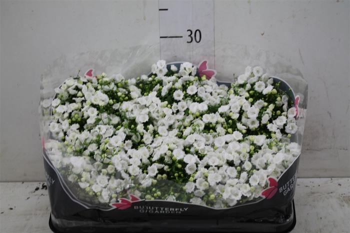 <h4>Campanula X Ha White Bali</h4>