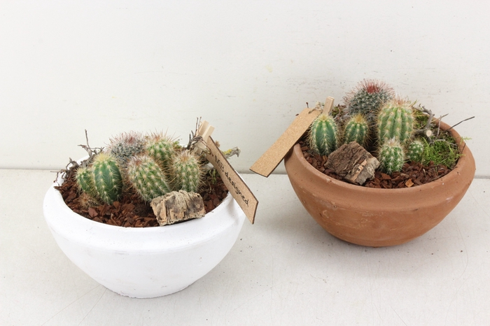 <h4>arr. MB Cactus - Schaal rond mix 285/5</h4>