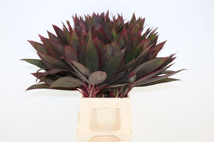 <h4>Cordyline Red Leaf Top</h4>