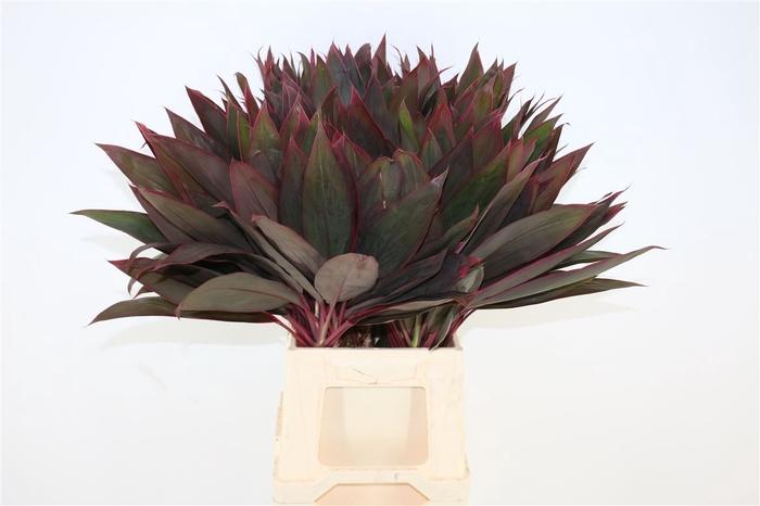 Cordyline Red Leaf Top