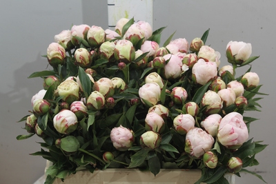 <h4>Paeonia Shirley Temple.D.</h4>