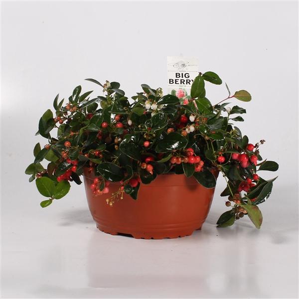 <h4>Gaultheria procumbens Big Berry schaal 21</h4>