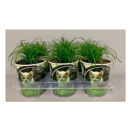 <h4>Cyperus Zumula Potcover</h4>