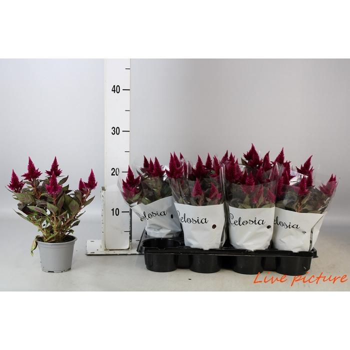<h4>Celosia Carmina Red</h4>