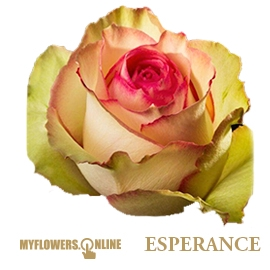 <h4>R Gr Esperance Bicolor 60cm EC</h4>