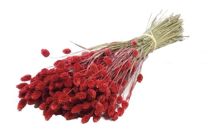 Phalaris red craft