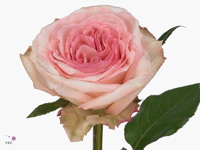 Rosa Gr. Pink O'Hara