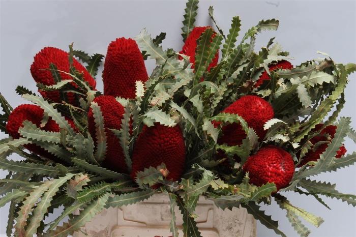 <h4>Banksia Prionotis Red</h4>