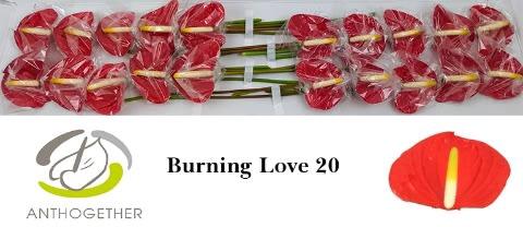 <h4>ANTH LOVE BURNING 20.</h4>