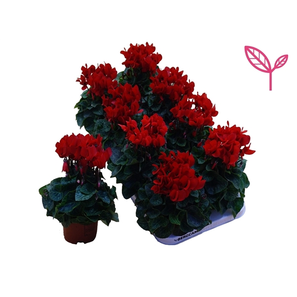 <h4>Cyclamen-COMPACT ROOD</h4>