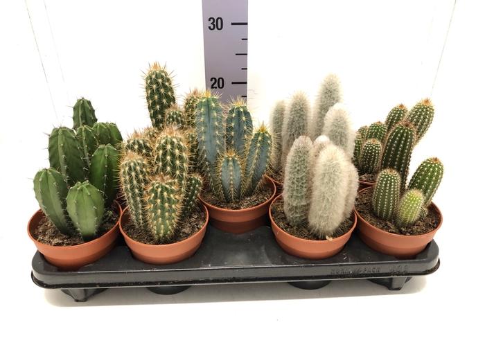 <h4>Cactus pillar mix 12Ø 25cm</h4>
