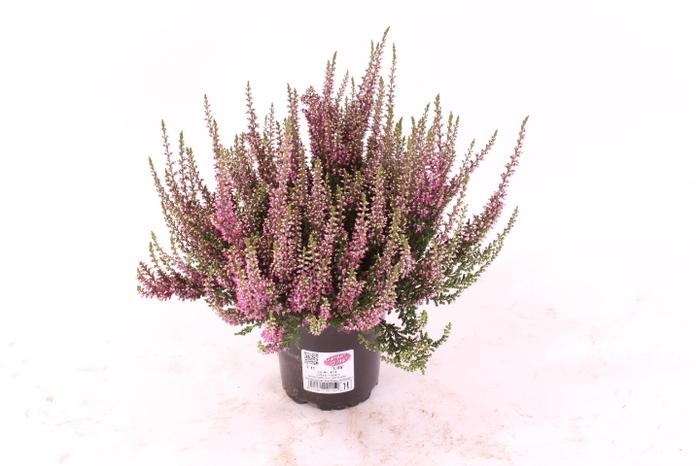 <h4>Calluna vulgaris Garden Girl® Lila</h4>