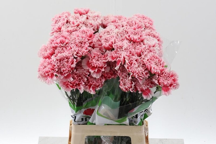 <h4>Dianthus st. Feliz</h4>