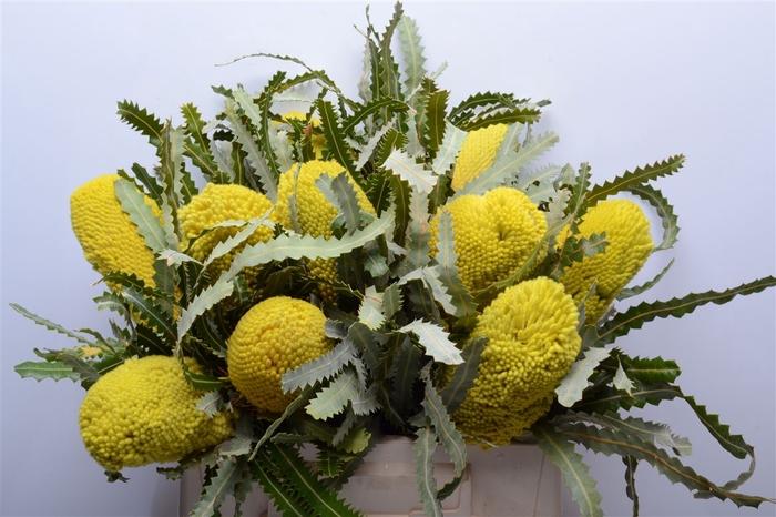 <h4>Banksia Prionotis Yellow</h4>
