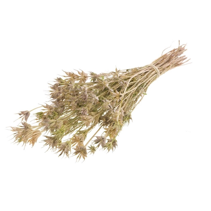 <h4>DRIED FLOWERS - NIGELLA ORIENTALIS NATURAL GREEN</h4>