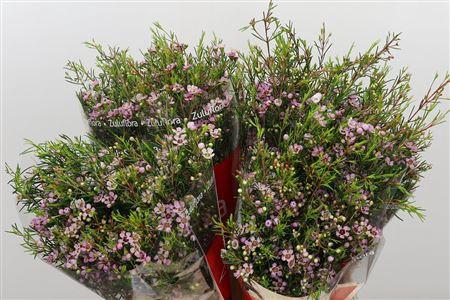 <h4>Chamelauc Early Nir Pale Pink</h4>