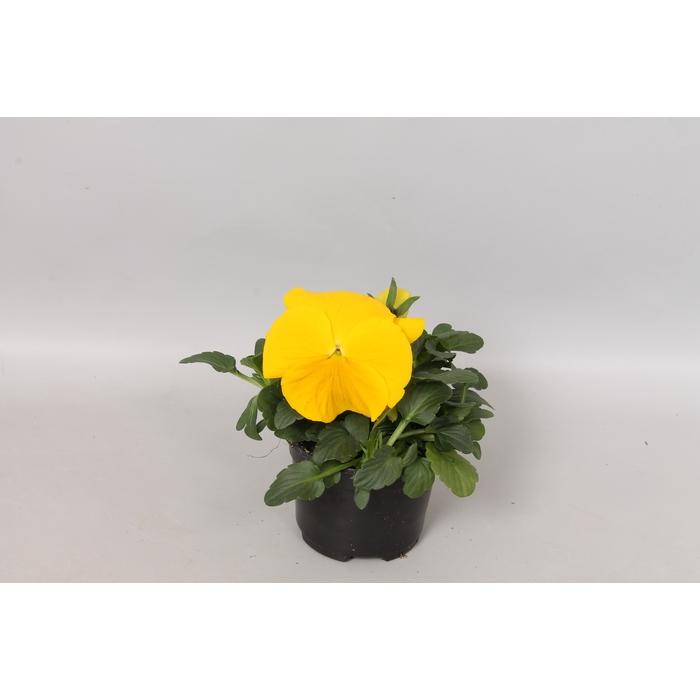 <h4>Viola wittrockiana F1 Yellow</h4>